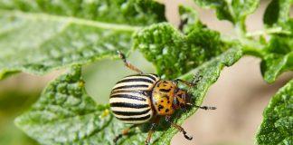 Надо ли бороться с колорадским жуком?