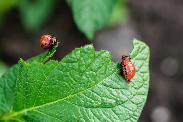 Личинки колорадского жука пожирают лист картофеля