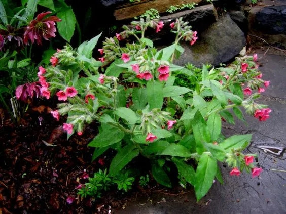 Медуница красная «Боулес Ред» (Pulmonaria rubra 'Bowles Red')