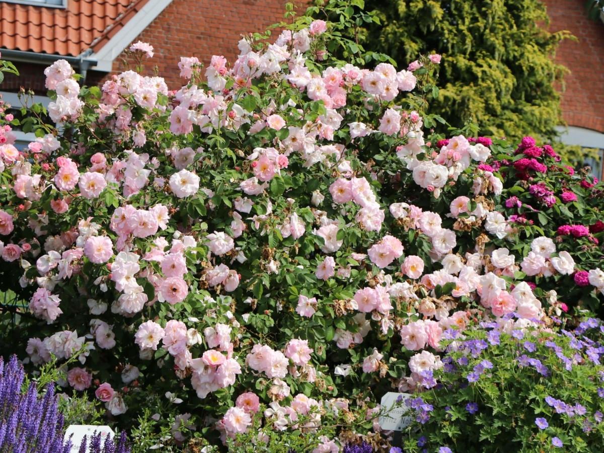 Роза «Фритц Нобис®» (Rosa 'Fritz Nobis®')