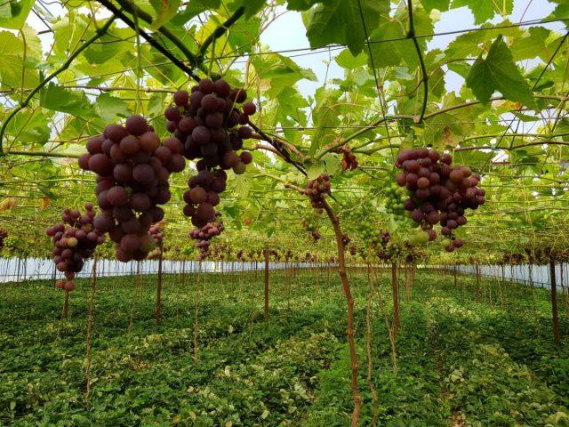 Как вырастить вкусный и здоровый виноград