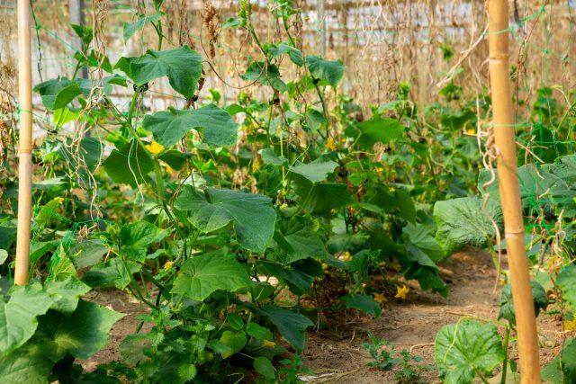 Чем кормить огурцы в начале лета?