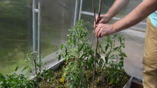 Вбейте колья на 25-30 см, отступив несколько сантиметров от растения