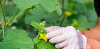 Как и зачем опылять растения вручную?