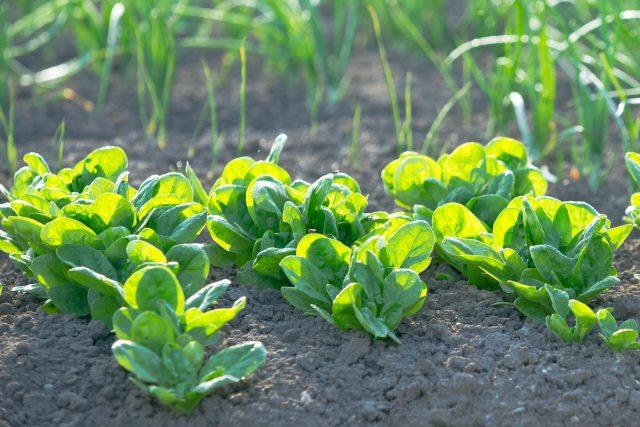 Огородный шпинат (Spinacia oleracea)