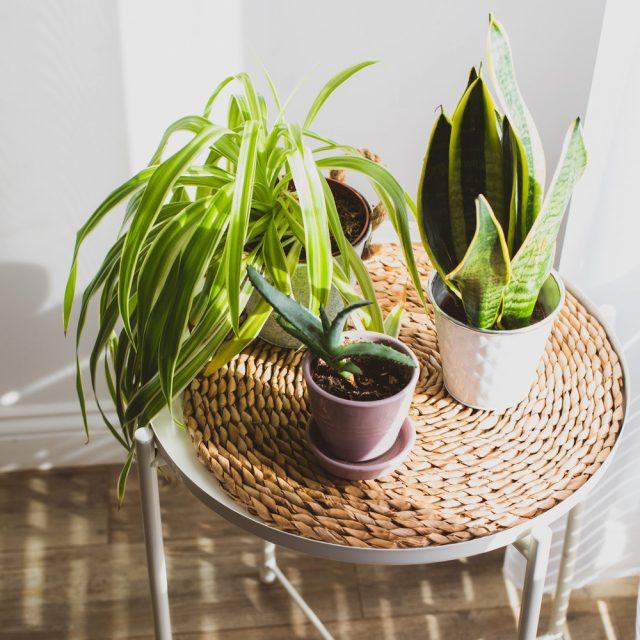 Самые популярные растения, которые очищают воздух, щучий хвост и хлорофитум