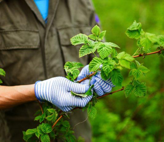Малинный жук — как отвоевать ягоды?