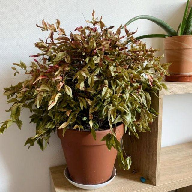 Сбрасыванием листьев нандина реагирует почти на любые неправильные условия