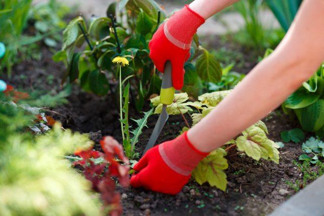 Одуванчик в саду доставляет только один вред— сорничает