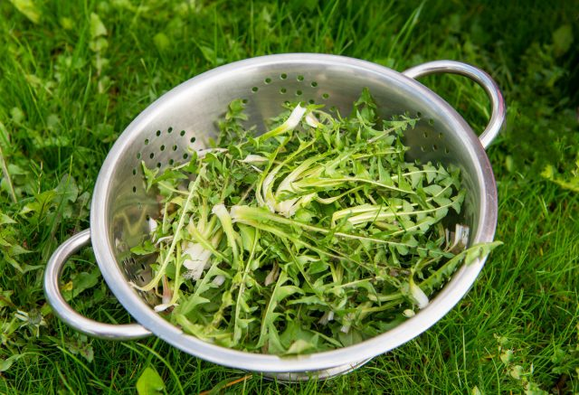 Листья одуванчика можно есть свежими или добавлять в первые блюда и весенние борщи, мариновать и заквашивать