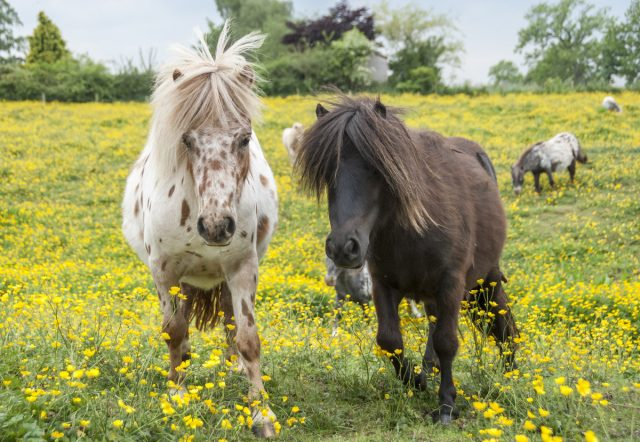 Лошади породы Фалабелла