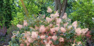 Скумпия кожевенная — особенности выращивания и использования в ландшафте