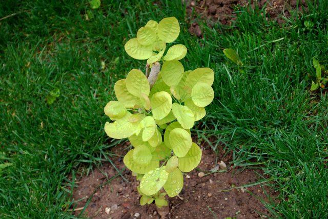 Молодые растения скумпии следует поливать обильно и регулярно