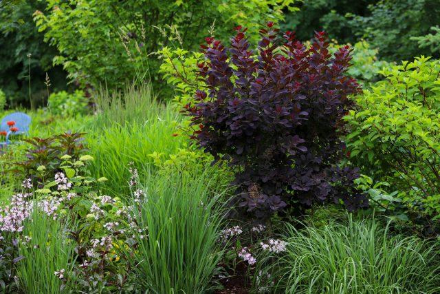 Скумпия кожевенная — отличное акцентное растение для миксбордеров или в смешанных садах
