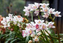 Цимбидиум — капризный, но шикарный «король орхидей»
