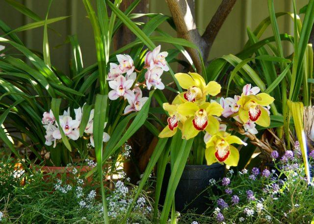 Цимбидиум выращивают с выноской на лето в сад или хотя бы на балкон