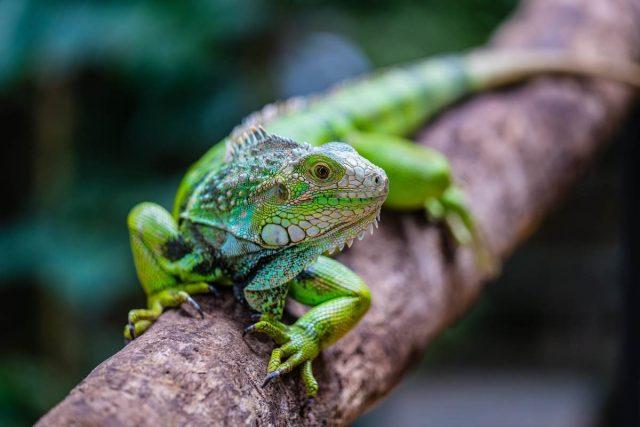 Зеленая игуана — как содержать домашнего дракончика?
