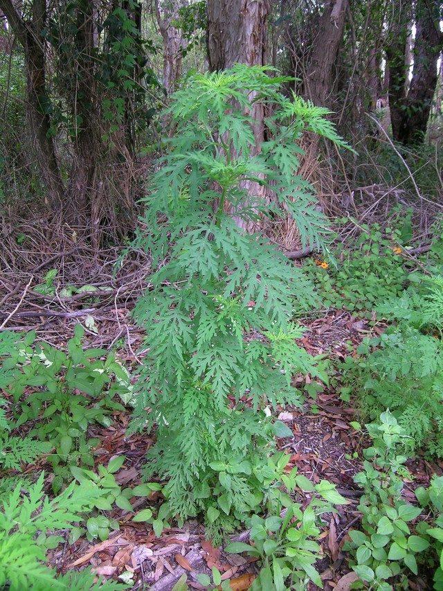 Амброзия полыннолистная (Ambrosia artemisiifolia)