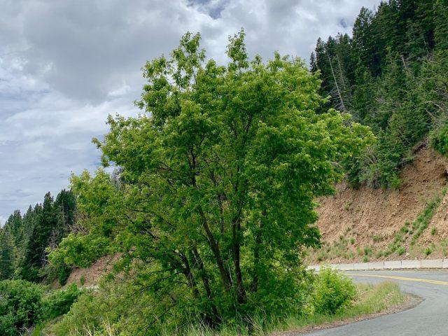 Клен американский, или ясенелистный (Acer negundo)