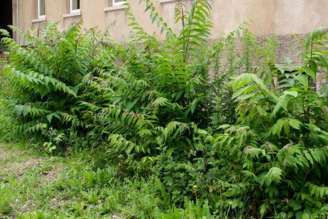 Айлант высочайший (Ailanthus altissima)