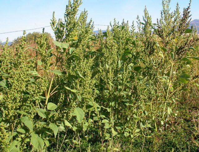 Циклахена дурнишниколистная (Cyclachaena xanthiifolia)