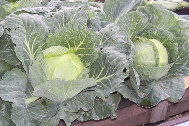 Капуста - одна из самых неоднозначных культур в огороде