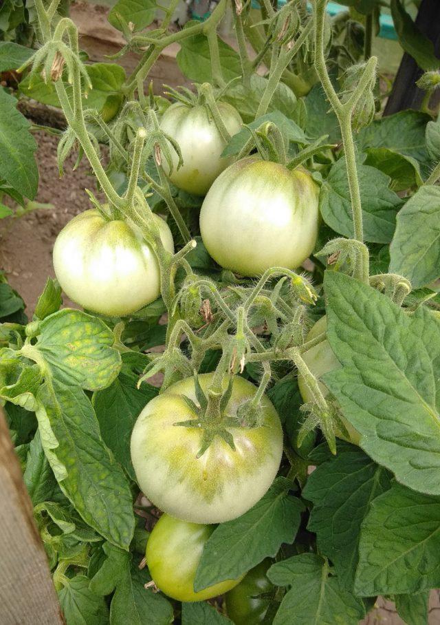 Хочу поделиться своим опытом выращивания томатов.