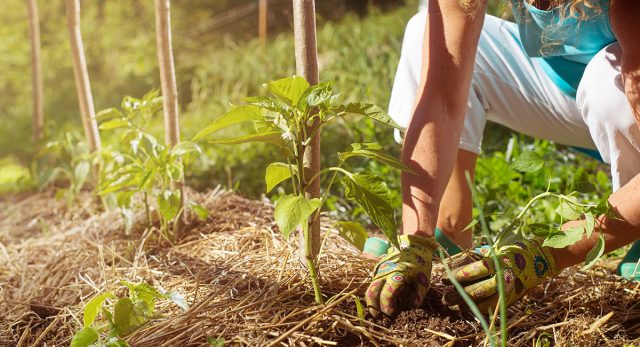 Мульчирование растений соломой
