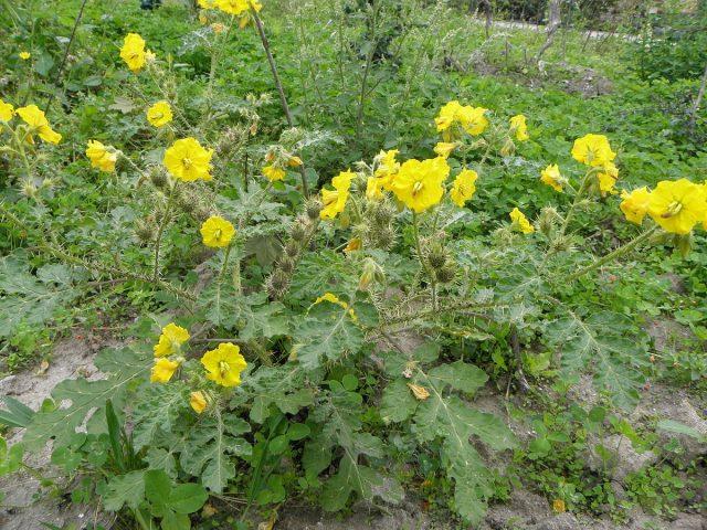Паслен клювовидный является основным кормовым растением для картофельной моли и колорадского жука