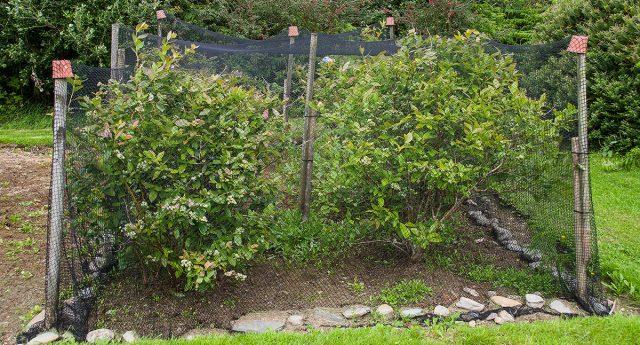 Кусты, укрытые от птиц и других вредителей