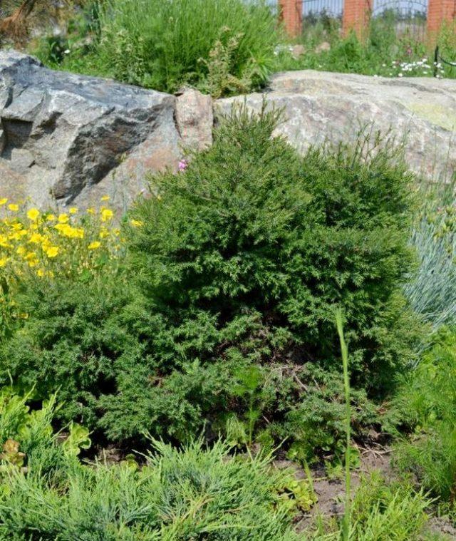 Туя западная вересковидная (Thuja occidentalis f. ericoides)