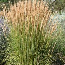 Вейник остроцветковый (Calamagrostis x acutiflora)