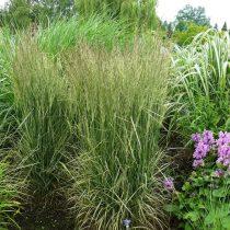 Вейник «Овердам» (Calamagrostis x acutiflora 'Overdam')