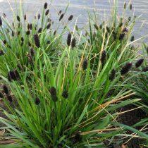 Сеслерия черноцветковая (Sesleria Heufleriana)