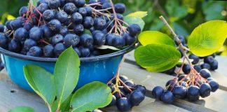 Черноплодная рябина — полезная, красивая и просто необходимая