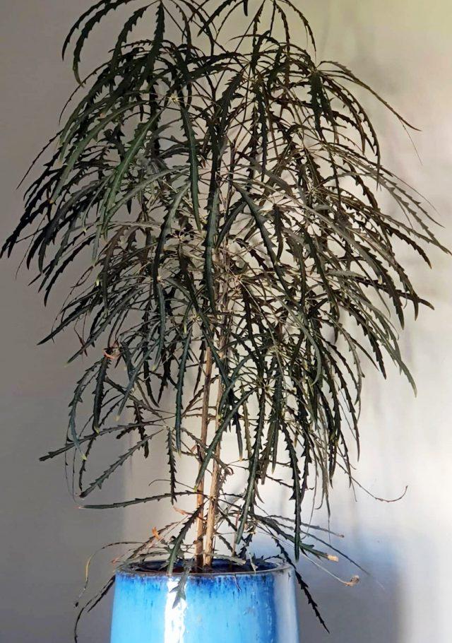 Дизиготека элегантная (Dizygotheca elegantissima), или Шеффлера элегантная (Schefflera elegantissima)