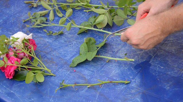 Нарезание черенков у плетистых роз