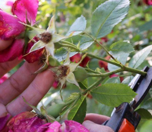 Обрезка плетистой розы