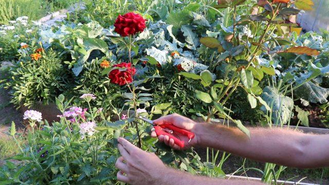 Обрезка чайно-гибридной розы