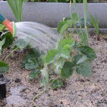 Полейте клубничную рассаду. Делать это нужно регулярно
