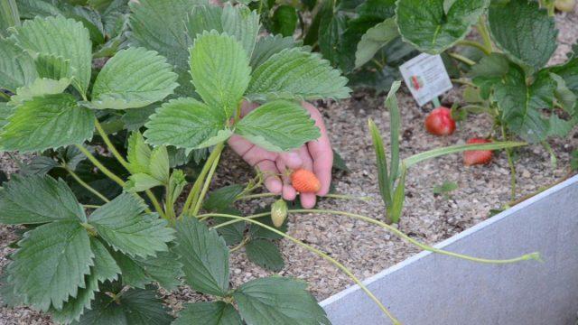 Как правильно размножать клубнику с помощью усов?