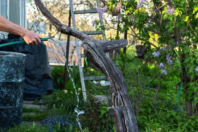 Поливают виноград аккуратно, в специальную круговую канавку