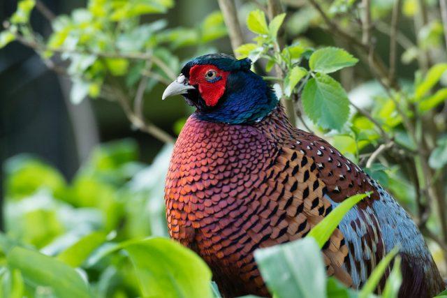 Какие бывают фазаны?