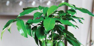 Комнатный каштан, или Каштаноспермум — для опытных цветоводов