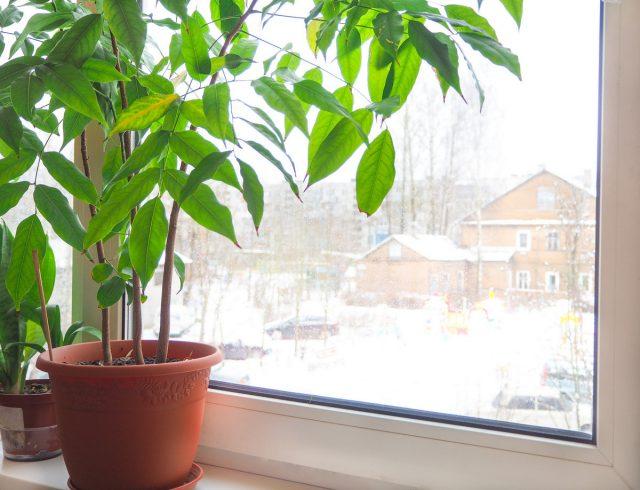 Зимой каштаноспермум не откажется от самого солнечного места в доме или досветки