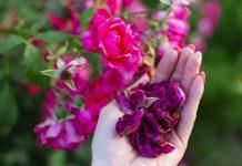 Лепестки розы — как правильно собрать, высушить и использовать?