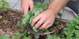 Летний уход за клубникой: обрезаем листья правильно