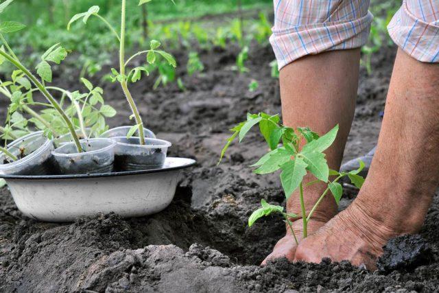 При пересадке рассады томатов в сад, я стараюсь посадить ее как можно глубже
