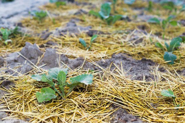 Добавьте немного мульчи, чтобы сохранить влажность почвы
