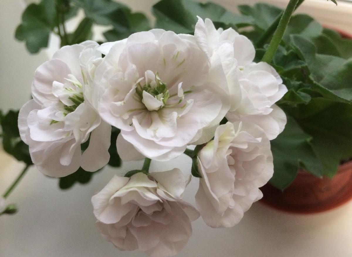 Пеларгония плющелистная «Айс Роуз» (Pelargonium peltatum 'Ice Rose')